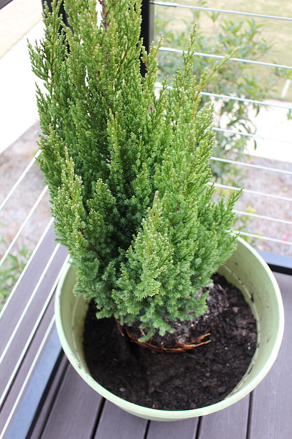 blue point juniper in compost