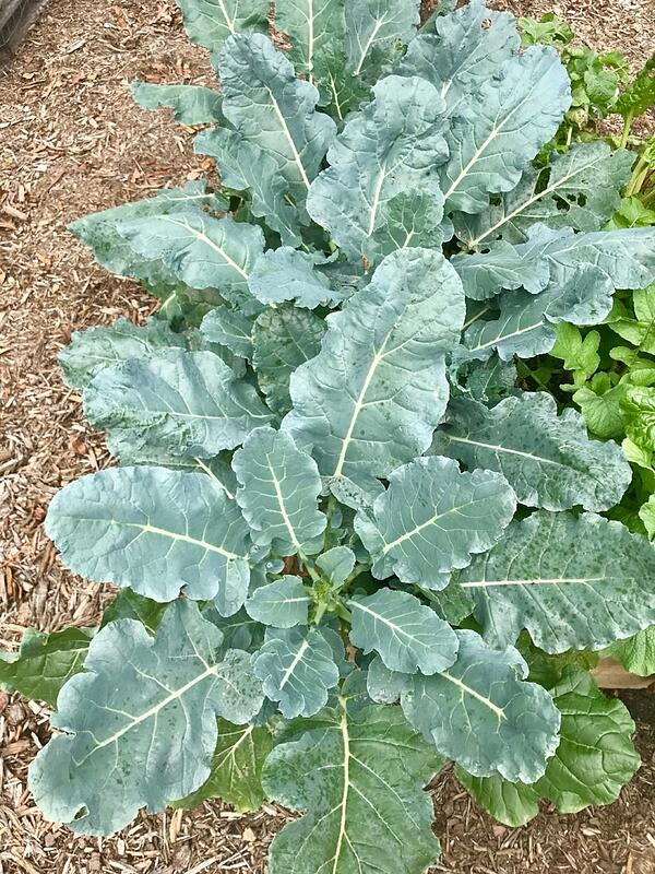 broccoli plant in raised bed by Shannon-883223-edited