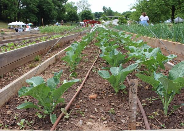 cauliflower garden