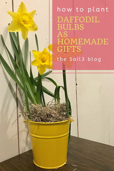 daffodil bulbs as homemade gifts