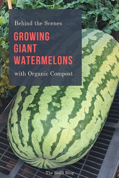 growing giant watermelons with compost