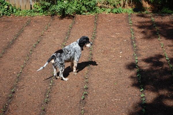 guard dog in the garden