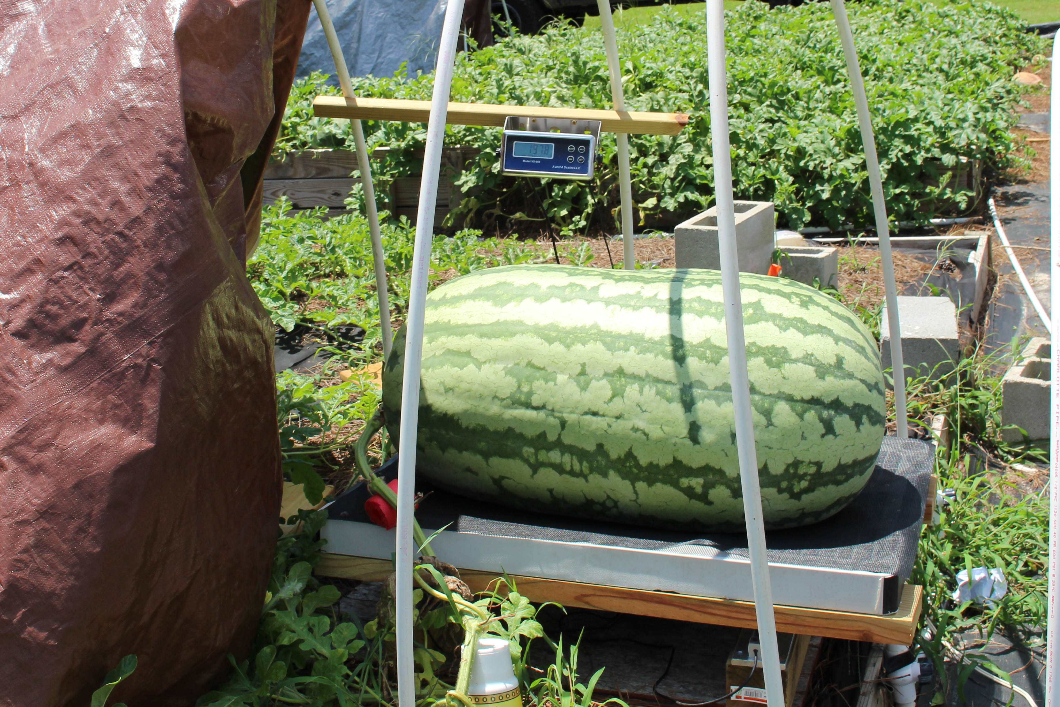 melon on scale
