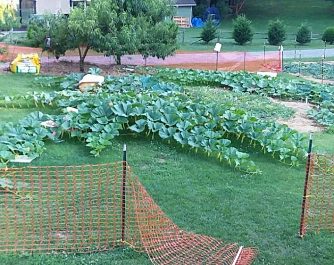 mid july rapidly growing. 20 to 60 lbs per day.jpg