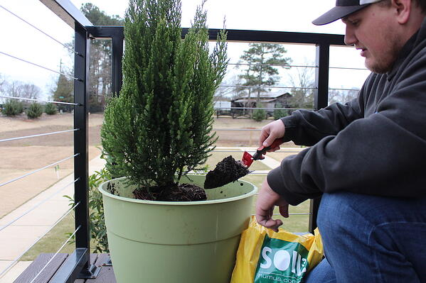 planting blue point juniper in container with compost soil3