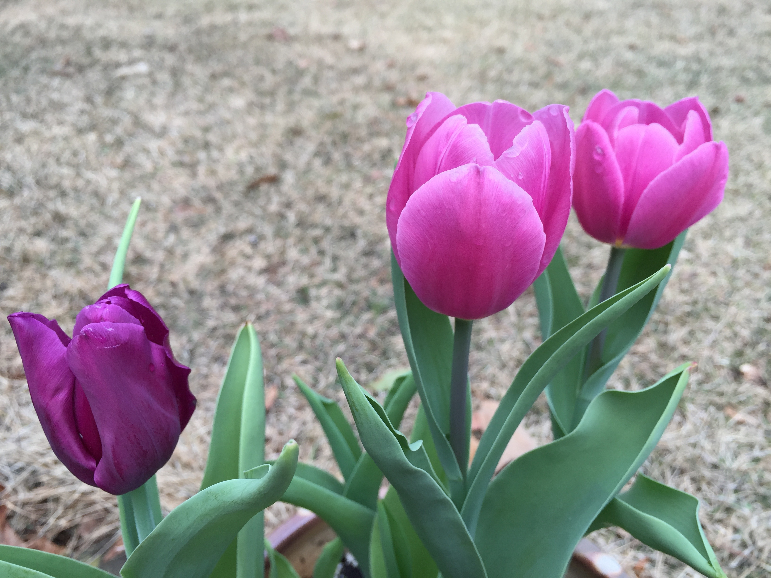 tulips_planted_in_fall.jpg