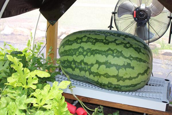 watermelon inside greenhouse
