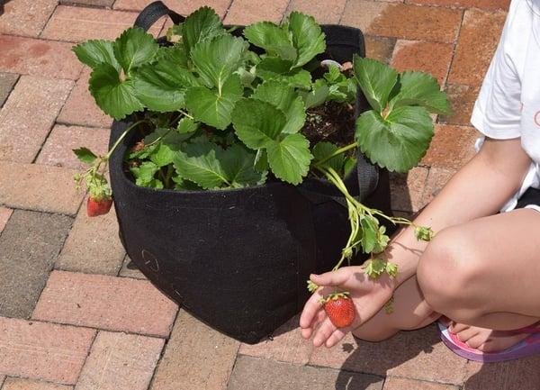 Soil3_strawberry_growbag2