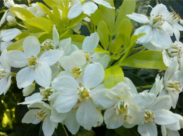 Spring_Choisya_Sundance_2