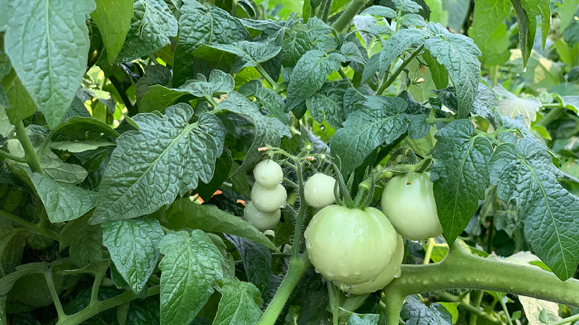 Tomatoes thriving in Soil3 Compost