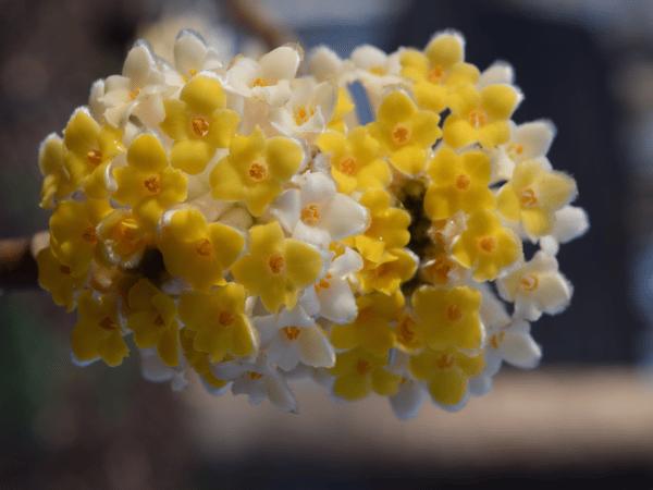 Winter_Edgeworthia chrysantha