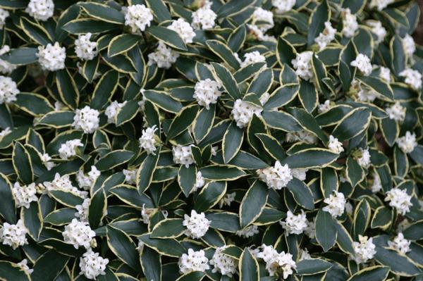 Winter_daphne odora