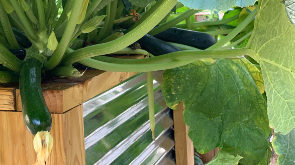 zucchini growing in Soil3 raised bed