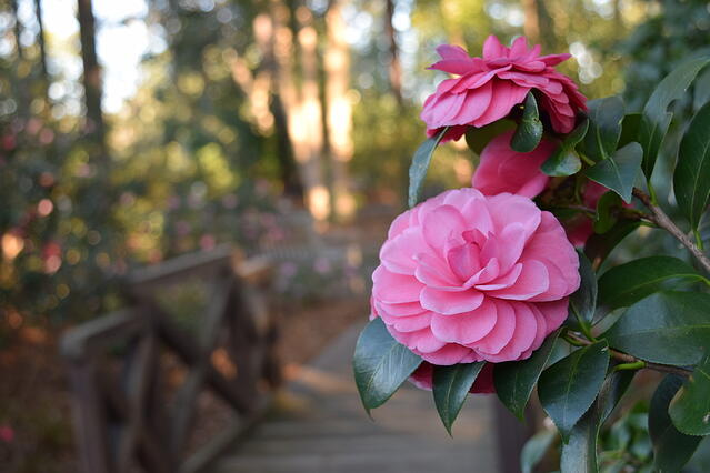 Camellia Fever: Brie's favorite winter indulgence - featured image
