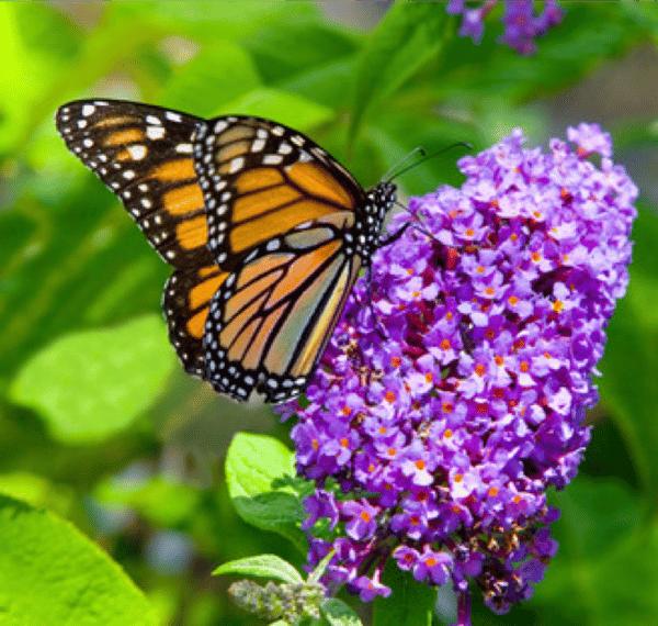 fragrant_pollinator