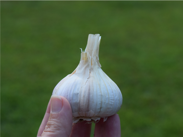 garlic make difference in the world