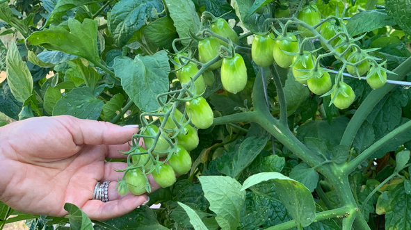 Grape Tomatoes Growing In Soil3 Raised Garden