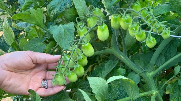 Grape Tomatoes Growing In Soil3 Raised Garden