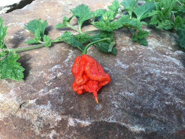 A Guide to Cultivating Ultra-Hot Peppers with Nick Sagnella - featured image