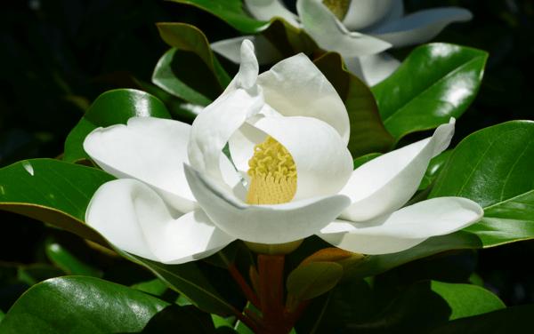 summer_magnolia_grandfloria