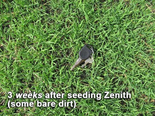 Zenith Zoysia Grass Seed 3 weeks